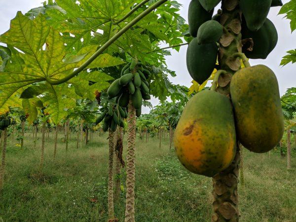 RAW Vegan Fruit Leather 10.6 oz (300 g) - Papaya Dehydrated Sheets 9